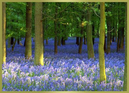 PurpleForest